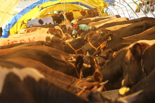 A man checks cattle, to be slaughtered during next week's Eid al-Adha holiday, at a market in Ankara