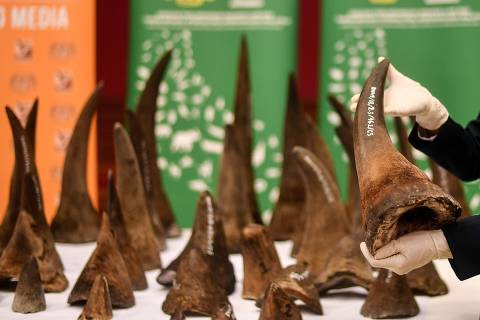 A Malaysian Wildlife official displays seized rhino horns and other animal parts at the Department of Wildlife and National Parks headquarters in Kuala Lumpur on August 20, 2018. - Malaysia has made a record seizure of 50 rhino horns worth an estimated 12 million US dollars as they were being flown to Vietnam, authorities said on August 20. (Photo by Manan VATSYAYANA / AFP)