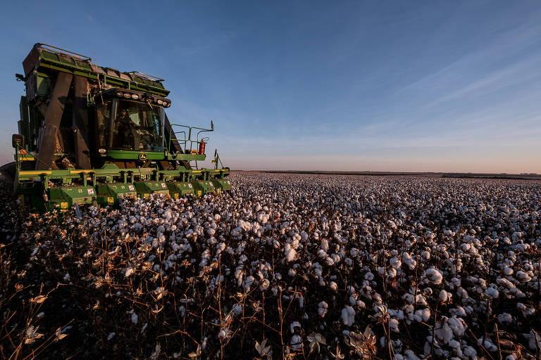Safra de algodão na cidade de Campo Verde (MT)