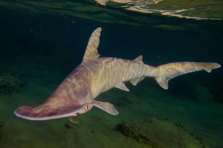 Tubarão-pala na Baía de Todos os Santos (BA)