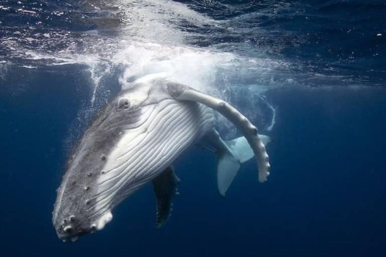 A proibição da caça comercial de baleias foi estabelecida em 1986, para possibilitar que os estoques desses animais se recuperassem
