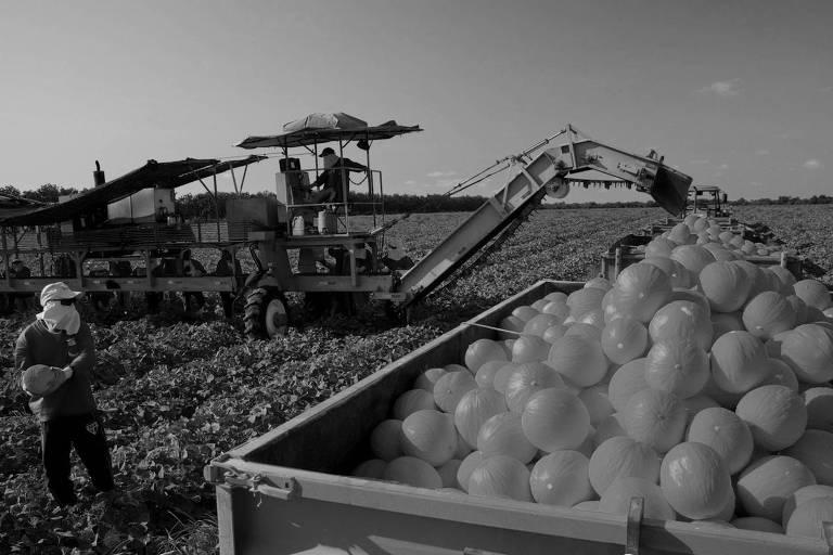 Colheita de melões na Itaueira Agropecuária S/A, em Aracati/CE