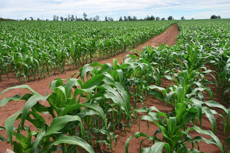 Plantação de milho na Embrapa Pecuária Sudeste, em São Carlos, SP