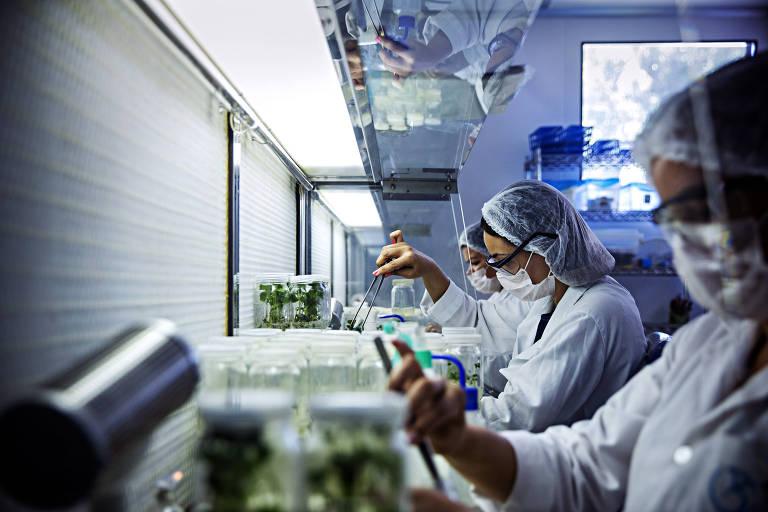 Pesquisadoras trabalham no Laboratório da Coordenação de Biotecnologia Vegetal no Centro de Biotecnologia da Amazônia em Manaus.