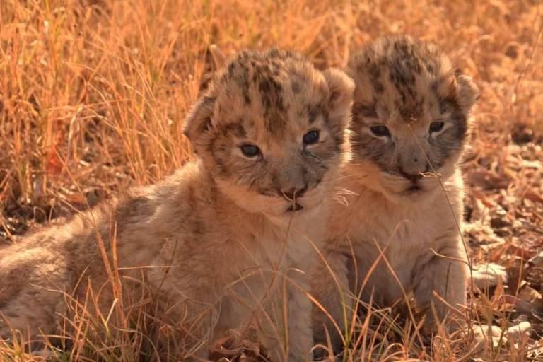 Isabel e Victor são os primeiros filhotes da espécie nascidos por inseminação artificial
