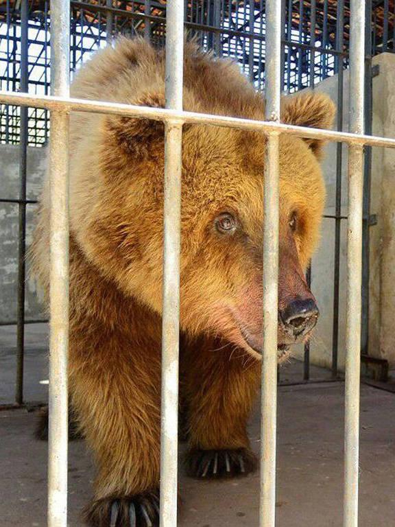 A ursa Rowena, antes conhecida como Marsha, finalmente conseguiu sua transferência para um santuário