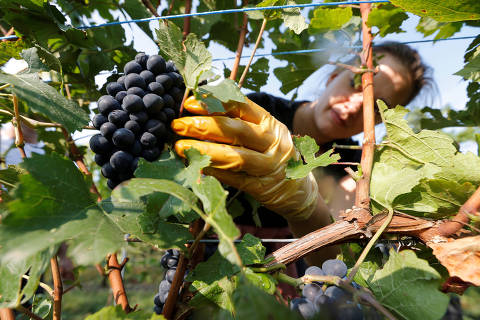 A grape picker harvests grapes of Pinot Noir to produce Cremant, a sparkling wine of the Alsace region, at the Lang vineyard in Wolxheim near Strasbourg, France, August 28, 2018.  REUTERS/Vincent Kessler ORG XMIT: GGGVAK04