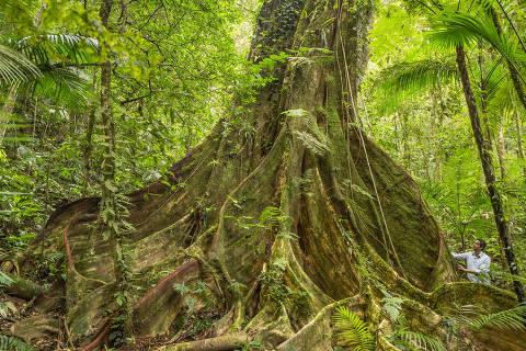 figueira-brava (Ficus gomelleira) no Legado das Águas das Reservas Votorantim, a cerca de 90 Km da capital paulistana. Tudo indica que é a maior figueira conhecida para o Bioma, com 21,40 metros de circunferência na altura do peito (1,30 metros do solo). Deve ter mais de 300 anos de idade.
