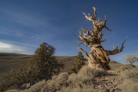 Pinheiro bristleconeno Parque Nacional de Inyo, na Califórnia; espécies dessas árvores encontradas na região, que crescem em solos pobres e quase sem nenhuma água, são consideradas as mais longevas do mundo, podendo chegar a até  5.00 anos.  Credito: Fernando Grostein Andrade
