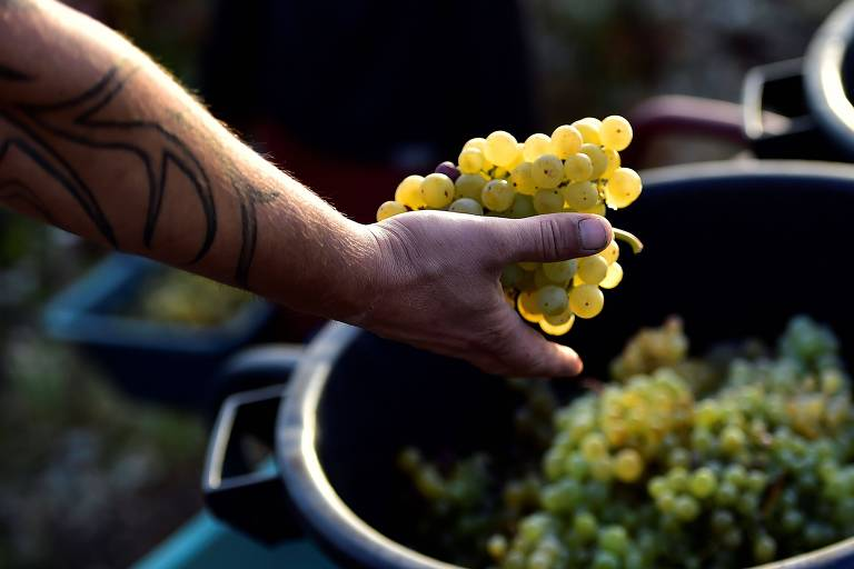 Franceses colhem neste ano a melhor safra de uvas desde 1947