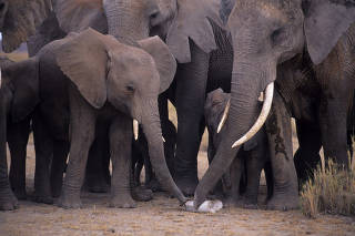 African elephants with the bone of another elephant.
