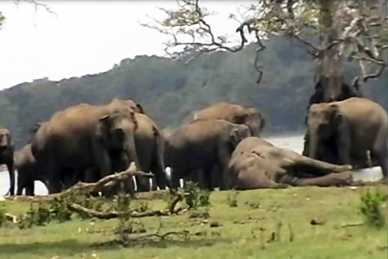 O tocante momento em que elefantes lamentam morte de líder da manada