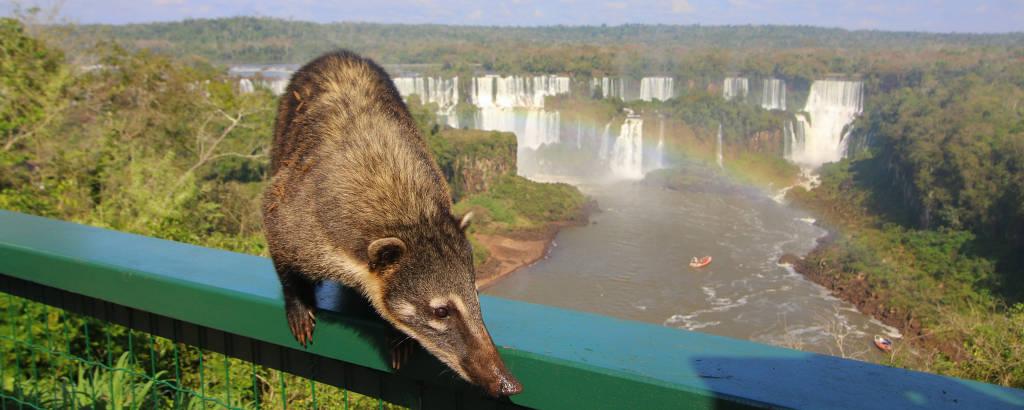 Quati em corrimão, com as Cataratas do Iguaçu ao fundo