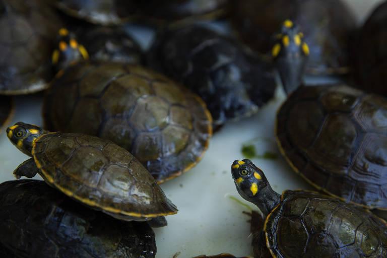 Parte das cerca de 200 tartarugas que são criadas por Maria das Graças Ribeiro, moradora da aldeia Muratu