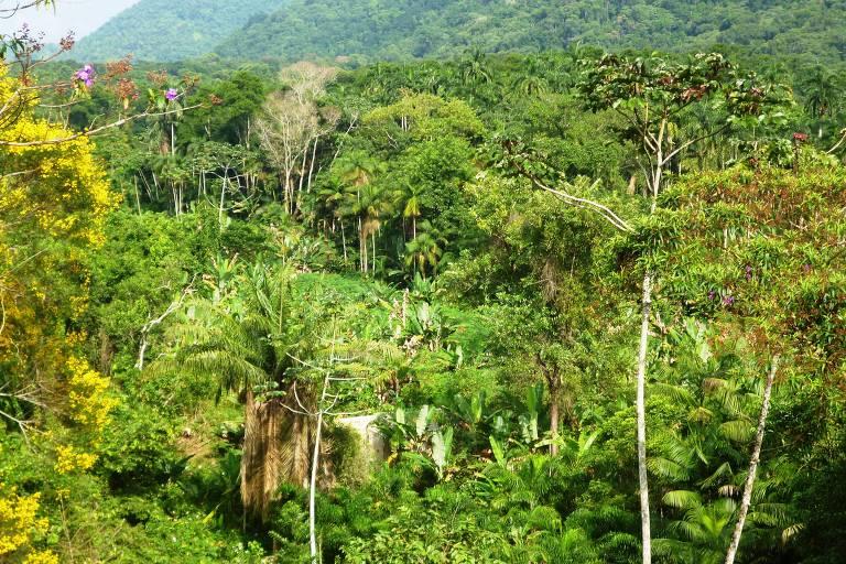 palmeira Juçara cultivada em agrofloresta