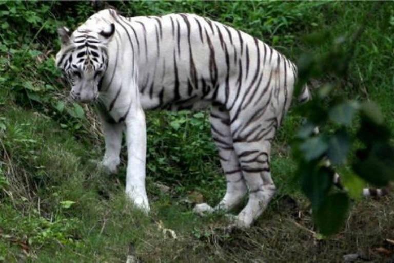 Tigre branco na mata