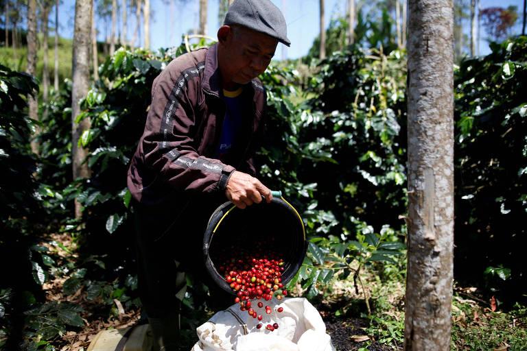 Agricultor colhe café arábica na Indonésia