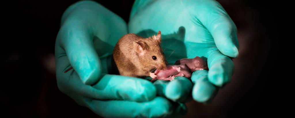 Camundongos nascidos saudáveis de duas mães