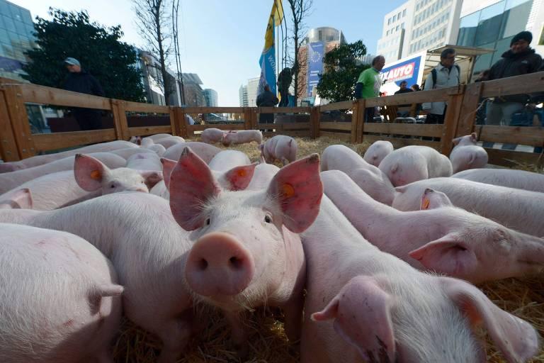 Porcos em manifestação de fazendeiros em Bruxelas