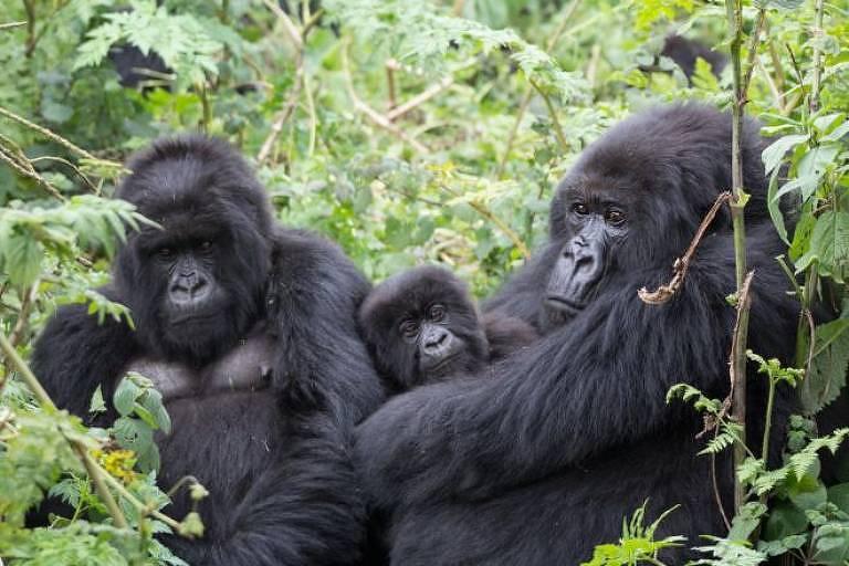 Machos de espécie encontrada em Ruanda dedicam bastante tempo cuidando dos filhotes da comunidade, sendo eles de sua prole ou não