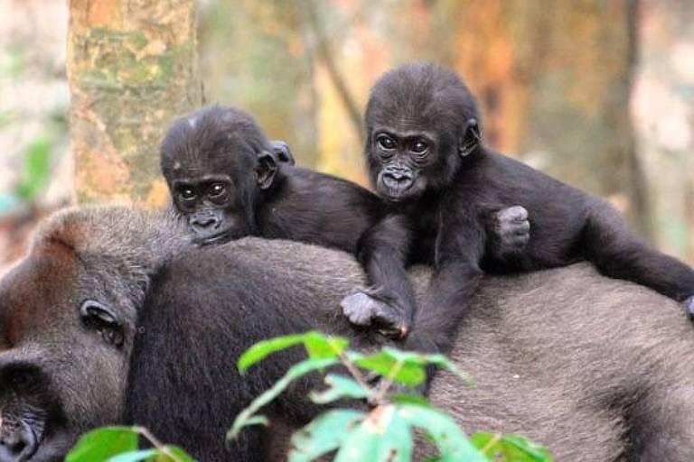 Fêmeas preferem gorilas que se dedicam aos filhotes, aponta estudo