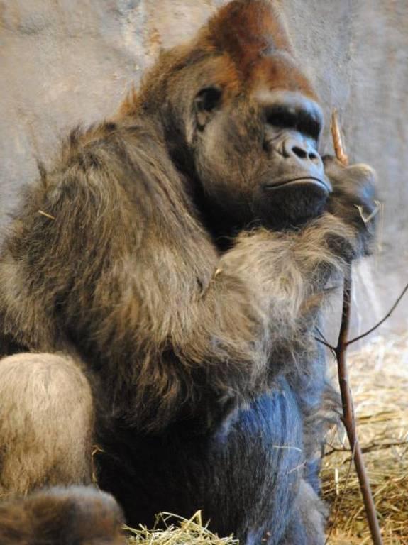 BBC News Brasil - Fêmeas preferem gorilas que se dedicam aos filhotes, aponta estudo