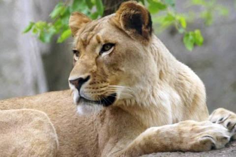 A leoa Zuri viveu com o leão Nyack por oito anos e nunca havia demonstrado comportamento agressivo antes DIREITOS RESERVADOS. NÃO PUBLICAR SEM AUTORIZAÇÃO DO DETENTOR DOS DIREITOS AUTORAIS E DE IMAGEM