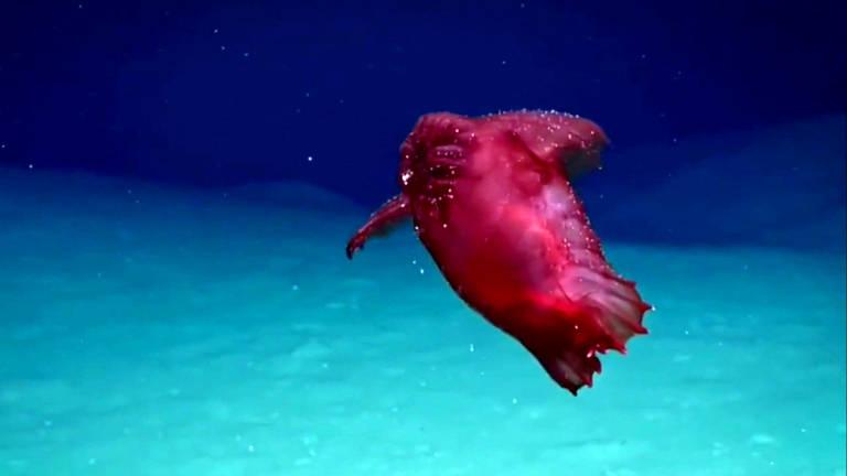 """Um pepino-do-mar de águas profundas, também conhecido como """"galinha monstro sem cabeça"""", foi visto pela primeira na costa leste da Antártida"""