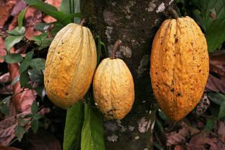 FILE PHOTO: Cocoa grows in an small producer farm near Puerto Cabello