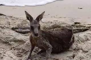 f07c705971 Canguru é salvo de afogamento por policiais na Austrália