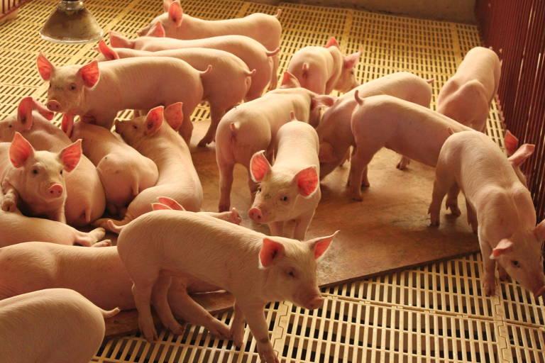 Granja de suínos em Carambeí (PR); mercado russo reabre para quatro frigoríficos do Sul