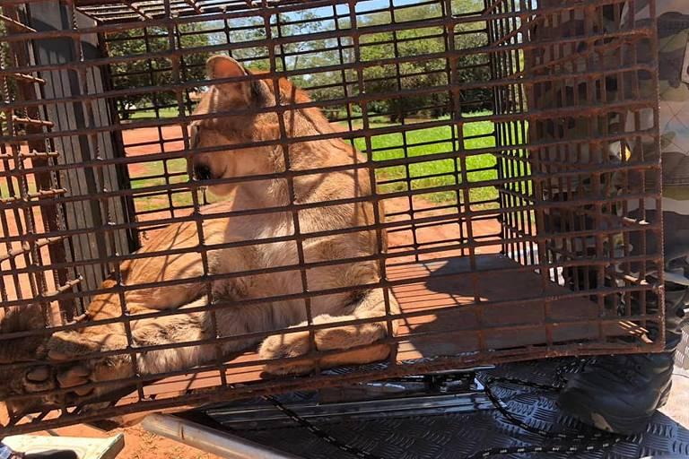 Uma onça-parda fêmea de três anos e 45 kg foi encontrada na lavanderia de uma casa em Xambrê, interior do Paraná