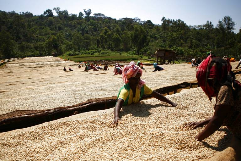 Secagem de grãos de café em cooperativa de Irgachefe, região produtora mais conceituada da Etiópia