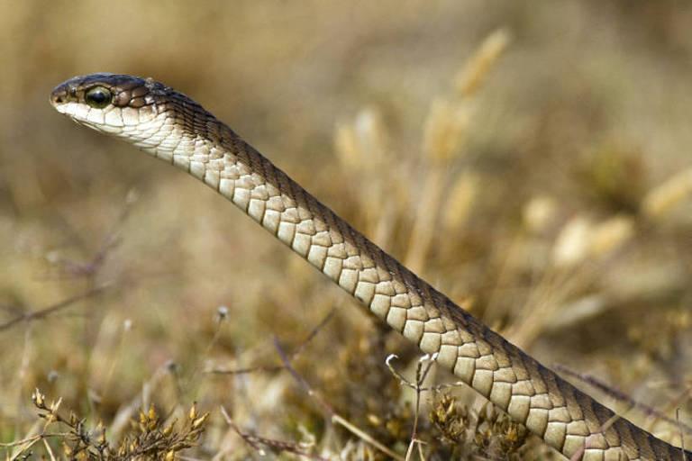 A cobra que matou o famoso herpetologista era uma boomslang