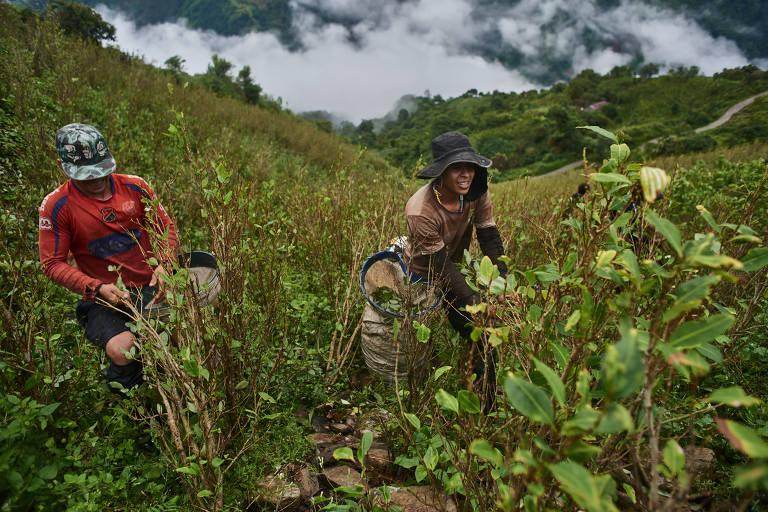 Cocaleiros na Colômbia
