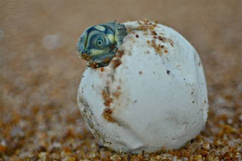 Tartaruga quebrando o ovo