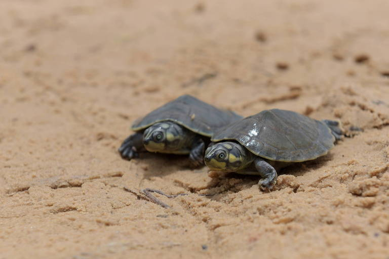 Tartarugas no Tabuleiro de Monte Cristo, Pará