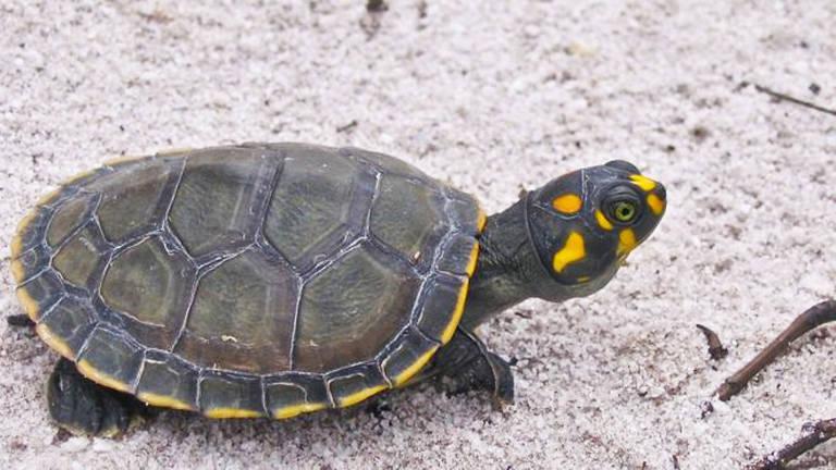 Como esforços na Amazônia brasileira estão salvando tartarugas da extinção