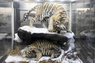 A pair of Amur tigers on display at the Zoological Museum of the Zoological Institute of the Russian Academy of Sciences, in St. Petersburg, Russia.