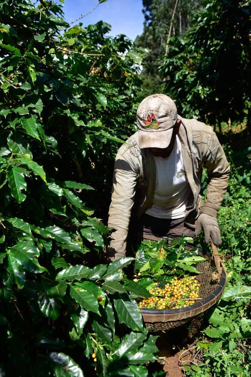Homem mexe em cesto de café em meio a plantação