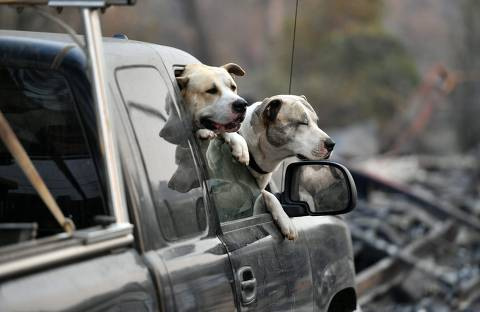 Dogs owned by Ryan and Kimberly Spainhower (not seen) hang out their car window while they search through the burned remains of their home in Paradise, California on November 18, 2018. (Photo by Josh Edelson / AFP)
