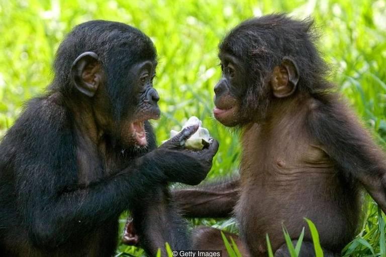 Bonobos fêmeas se unem para vencer machos agressivos - mas são mais inclinadas a fazer amor, e não guerra