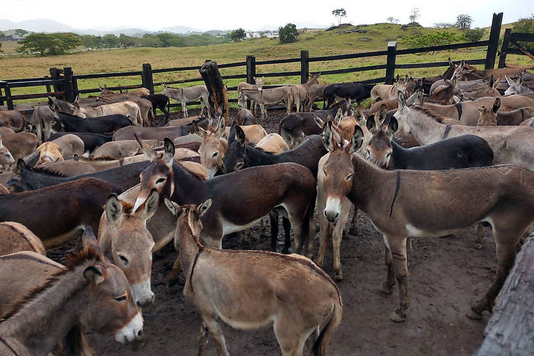 Cerca de 350 jumentos encontrados em confinamento ilegal em uma fazenda em Itapetinga (BA)