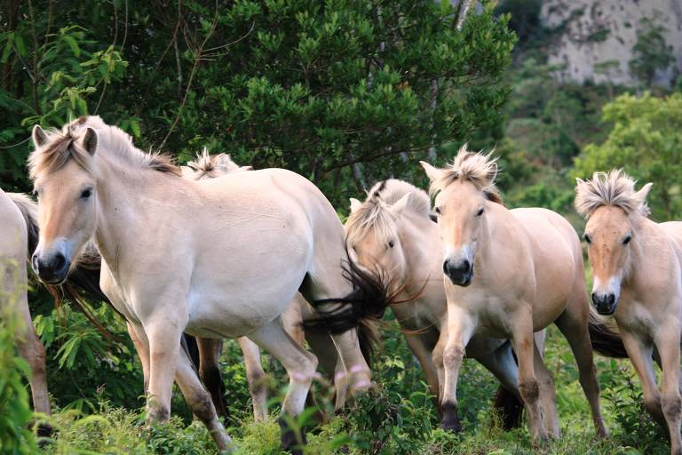Cavalos da raça Fjord