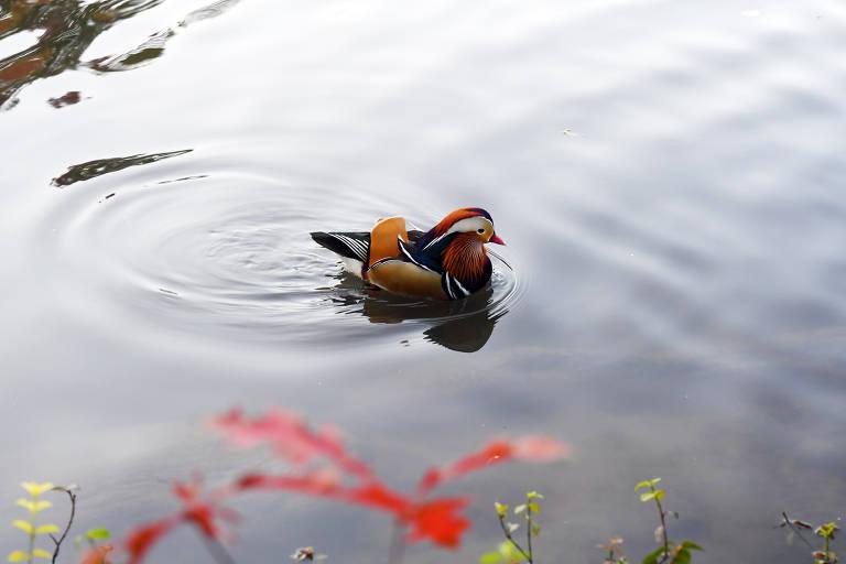 Pato mandarim vira atração entre visitantes do Central Park de Nova York