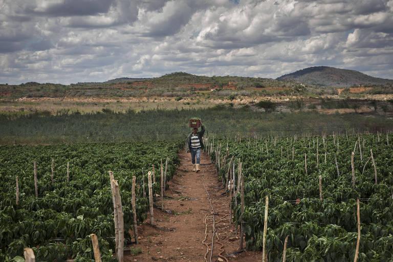 Agricultor carrega caixa com pimentões em terra próxima ao rio Paraíba, na cidade de Boqueirão (PB)