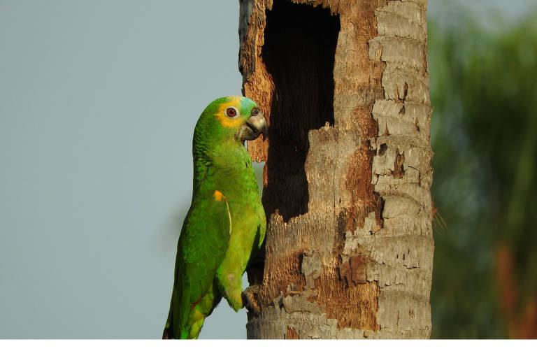 Papagaio-verdadeiro em ninho do Pantanal do Mato Grosso do Sul