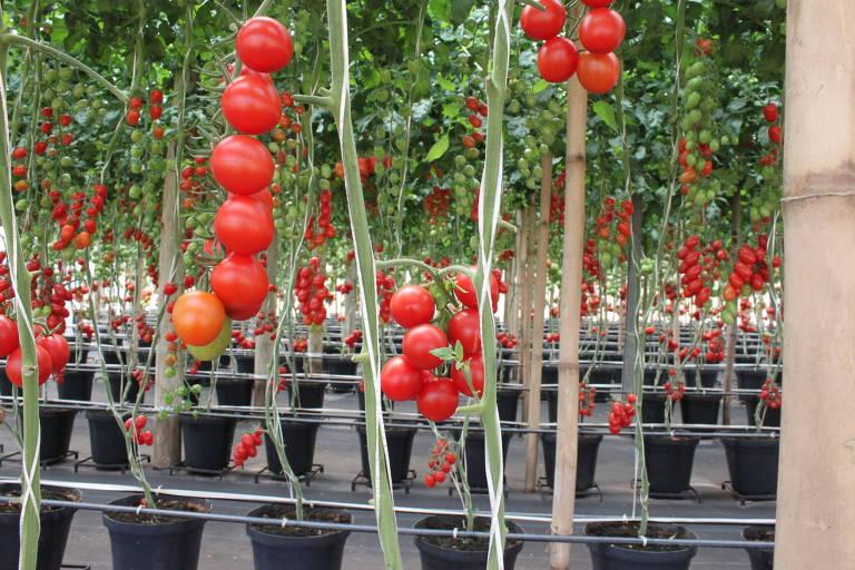 Plantação de tomate em fazenda experimental da empresa Sakata, no interior de SP