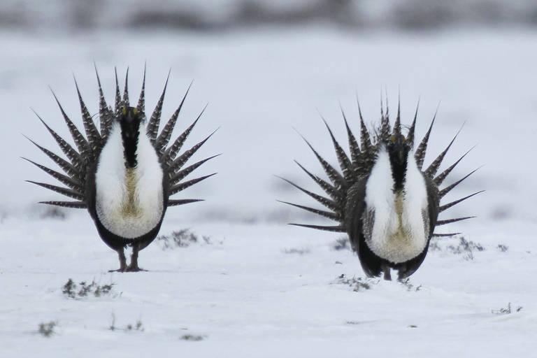Aves tetraz-cauda-de-faisão em meio à neve