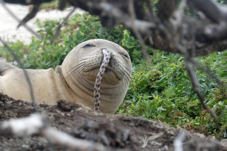 Jovem foca-monge com enguia morta presa na narina